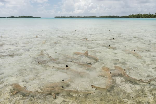 Blacktip Reef Sharks 2, Blue Lagoon, French Polynesia