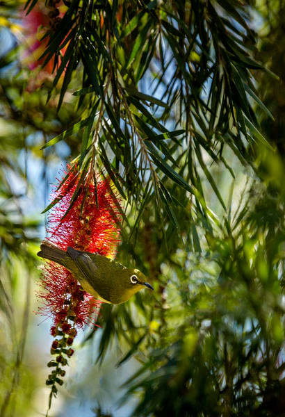 White Eye bird  Bottle Brush Tree Kauai Hawaii