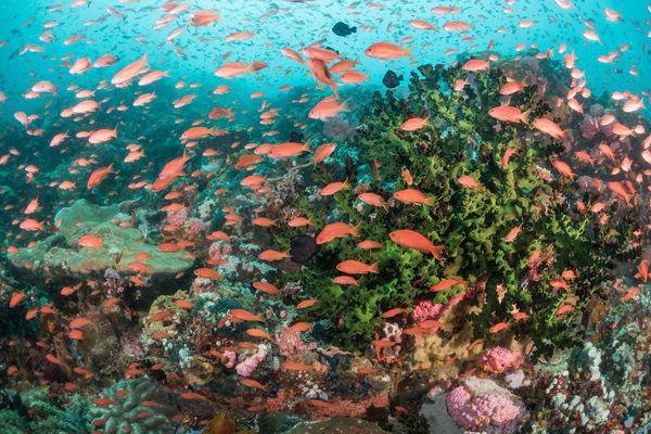 Scalefin Anthias Fish School & Black Sun Corals, Philippines