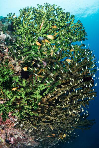 Anthias & Chromis Fish on Black Sun Corals, Philippines
