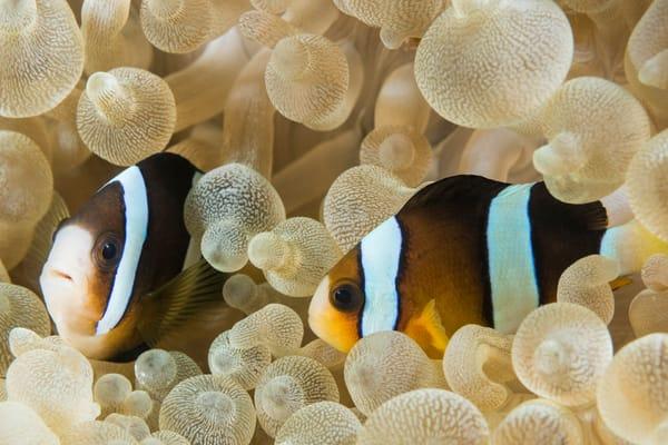 Clark's Anemonefish Pair in Bubble-tip Anemone, Philippines