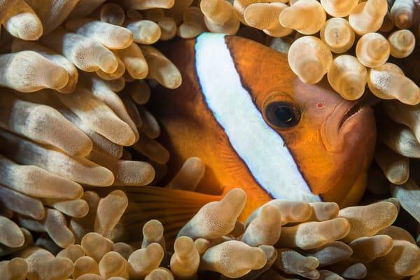 Clark's Anemonefish in Anemone, Philippines
