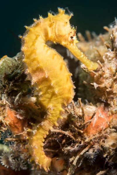 Yellow Thorny Seahorse & Sponge, Philippines