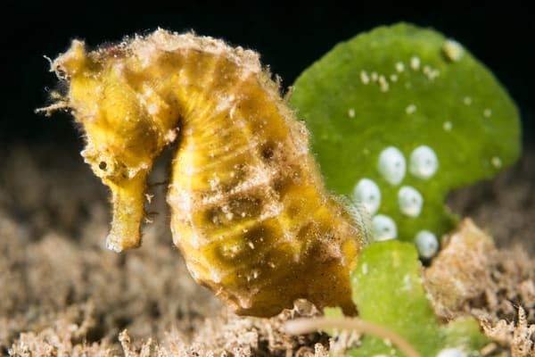 Yellow Thorny Seahorse & Algae, Philippines