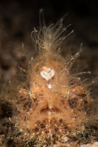 Orange Hairy Frogfish, Philippines