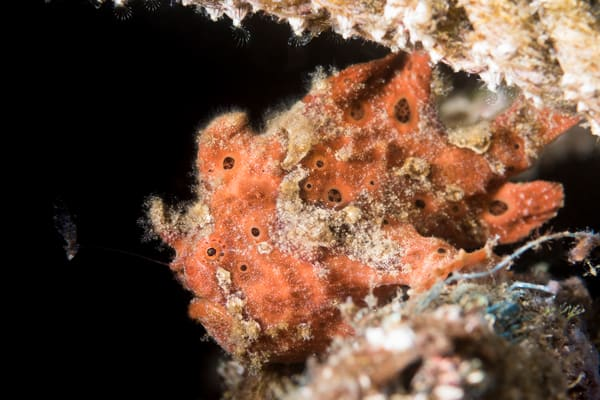 Red Painted Frogfish, Philippines