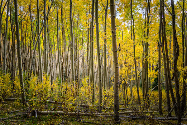 photography, aspens, southwest, sangre de christo mountains,fall, autumn
