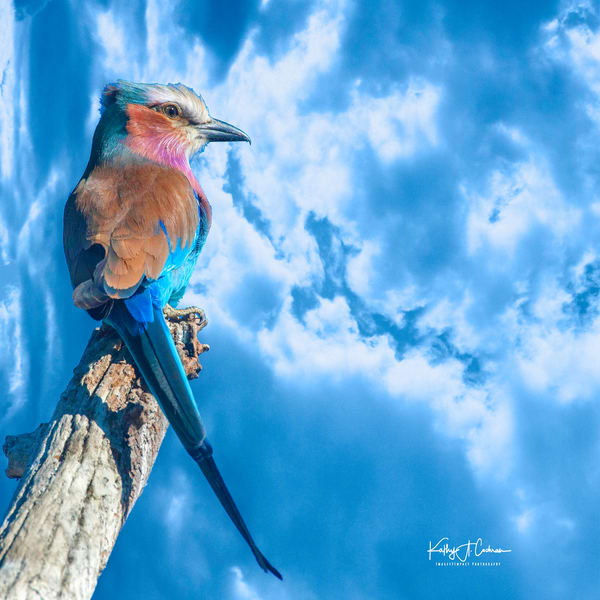 Lilac Breasted Roller 1