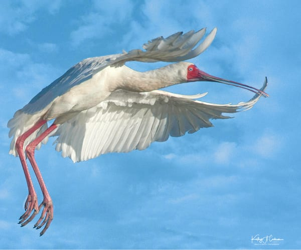 African Spoonbill 2 Photography Art   Images2Impact