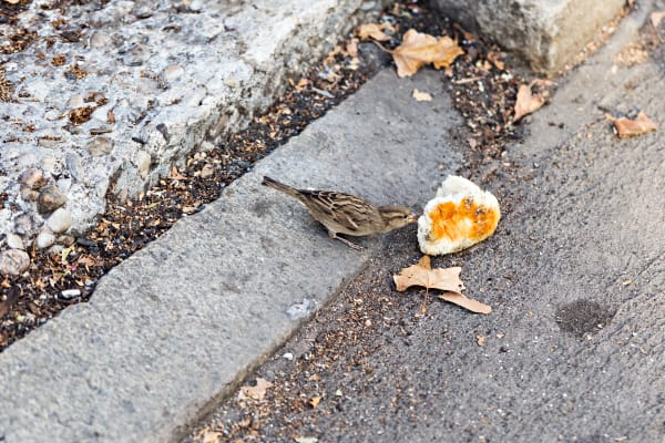 Bird Snacking On Bread In Central Park Photograph For Sale As Fine Art