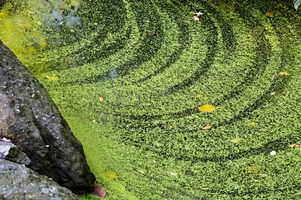 Algae Ripples In Central Park Photograph For Sale As Fine Art