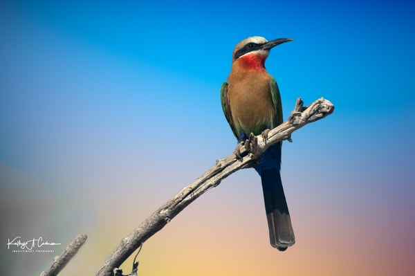 Green Bee Eater 3 Photography Art   Images2Impact