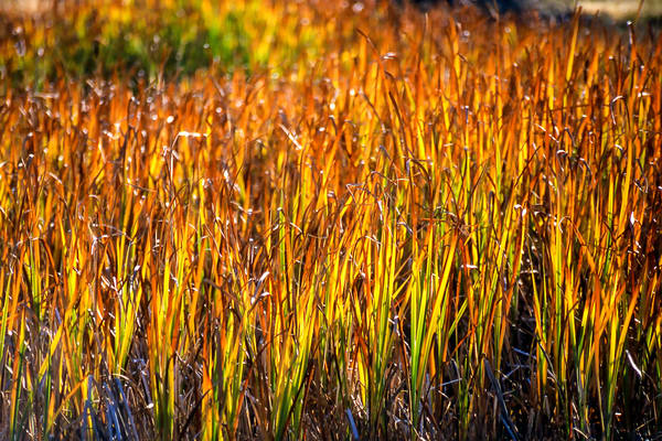 Yellowstone Grasses