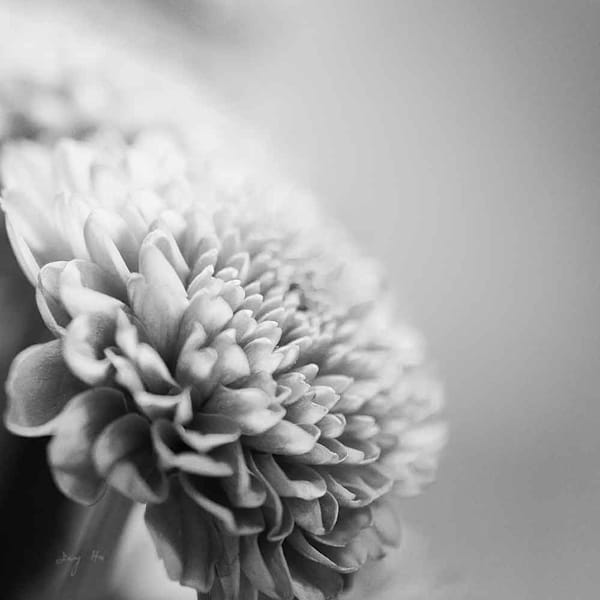 Chrysanthemum Photography Art | AngsanaSeeds Photography