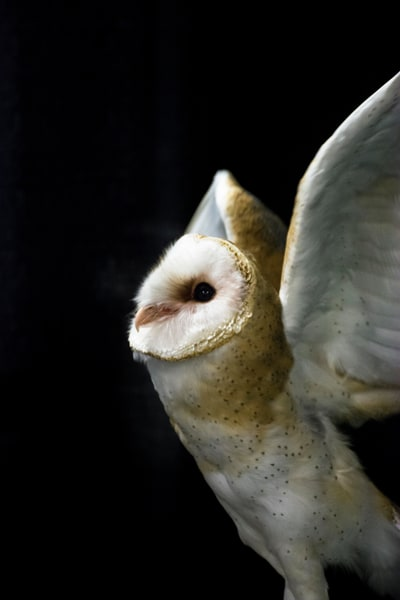 Barn Owl II - Black Photograph by Matt Jenkins | SavvyArt Market Art Prints