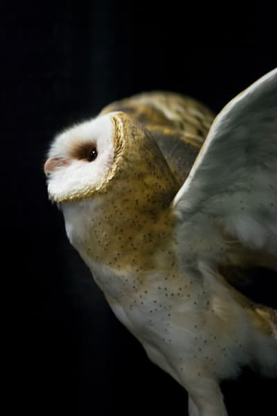 Barn Owl IV - Black Photograph by Matt Jenkins | SavvyArt Market Art Prints