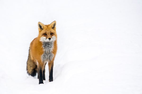 Red Fox I by Matt Jenkins | SavvyArt Market photography