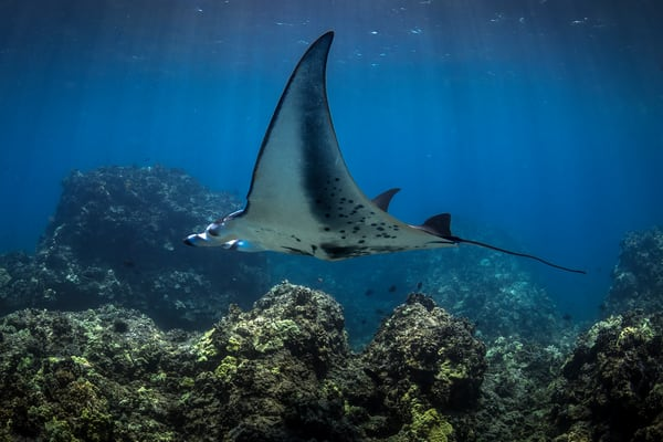 Marine Life Photography | Daylight Manta by Michael Hardie