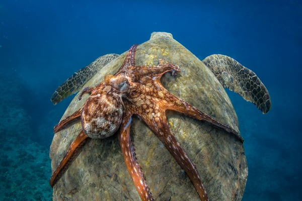 Marine Life Photography | Turtle Back Ride by Michael Hardie