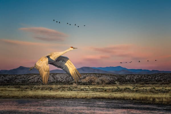 Sandhill Crane in a New Mexico Landscape - Signed
