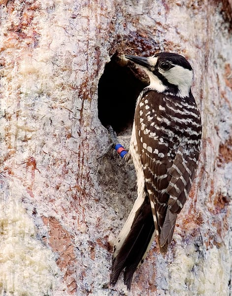 Red Cockaded Woodpecker Photography Art | Jim E Johnson Photography