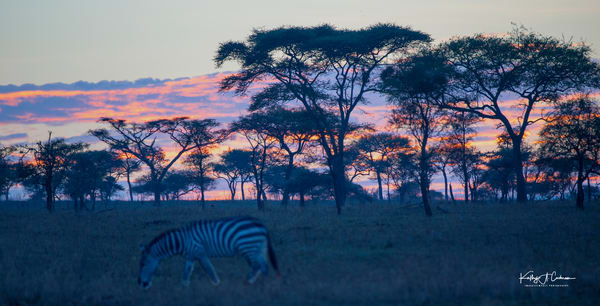 Acacia and Zebra Sunrise