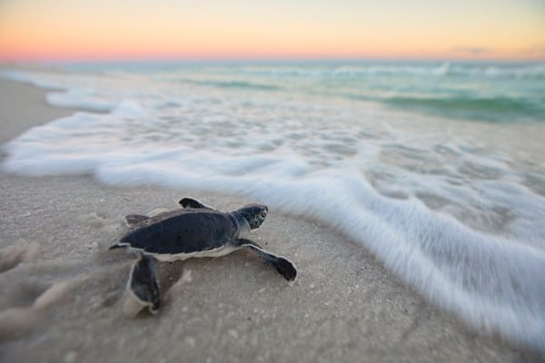 Baby Green Sea Turtle fixing to touch the water for the first time along Navarre Beach of Florida  | Fine Art Photography on Canvas, Paper, Metal, & More