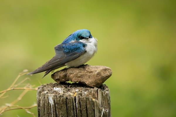 Sitting Tree Swallow