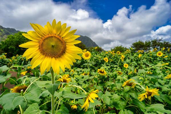Hawaii Photography | Waimanalo Sunflowers by Peter Tang