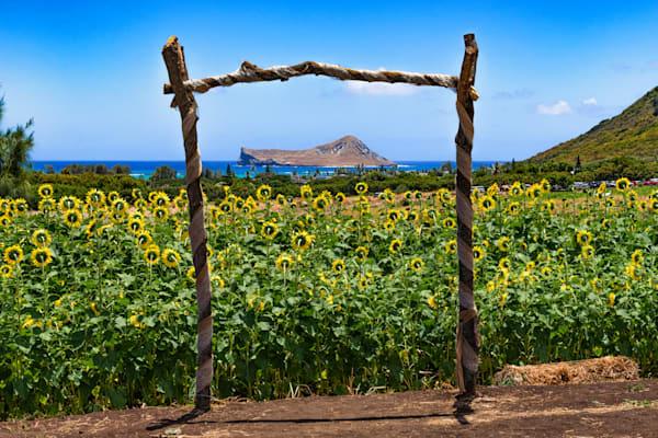 Hawaii Photography   Waimanalo Sunflowers by Peter Tang