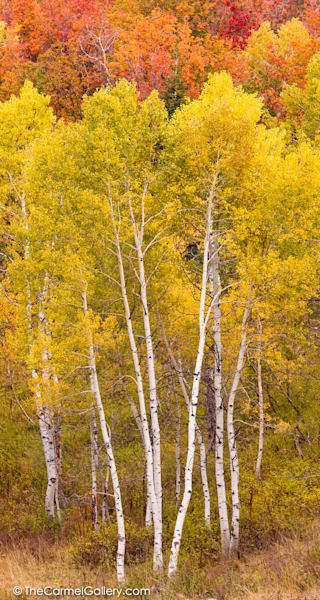 Vertical Aspen photo