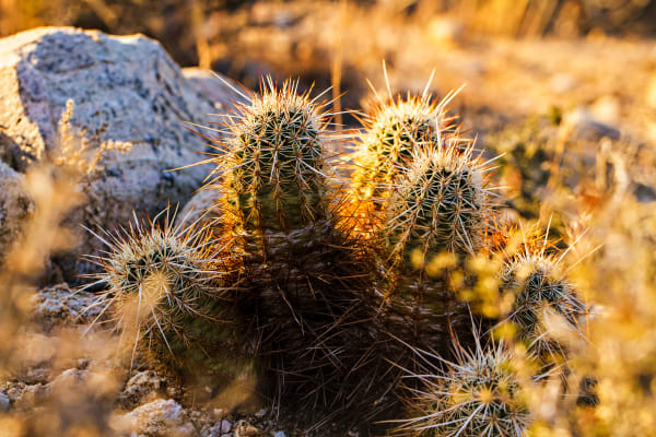 Barrel Cactus In Joshua Tree Photograph for Sale as Fine Art