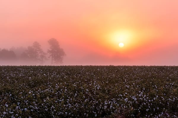 South Carolina Cotton Field Photograph for Sale as Fine Art