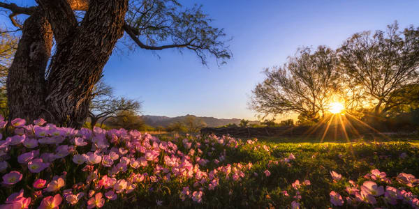 Desert Wildflowers At Sunrise Panorama Photography Art | Carol Brooks Parker Fine Art Photography