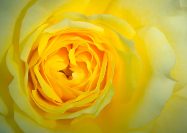 One Perfect Rose Photography Art | Carol Brooks Parker Fine Art Photography