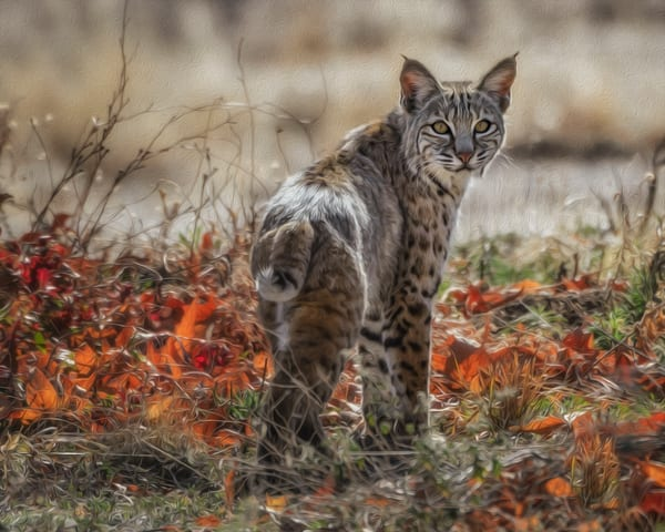 The Bobcat    Photography Art | Carol Brooks Parker Fine Art Photography