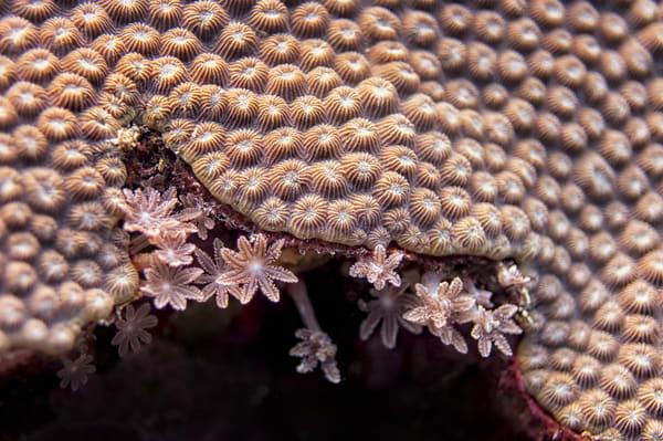 Coral Lace #1 - Lumalihe, Solomon Islands