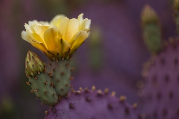 Santa Rita Prickly Pear Bloom #2    Photography Art | Carol Brooks Parker Fine Art Photography