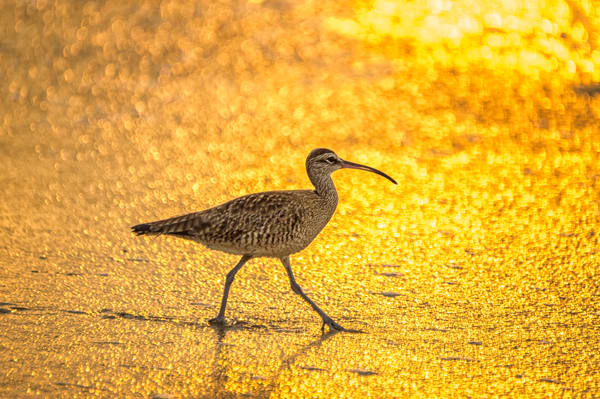 Curlew at Sunrise - Ixtapa, Mexico