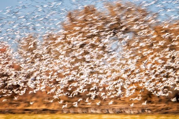 Snow Geese Explosion #1 - Bosque del Apache, Socorro, New Mexico 2015