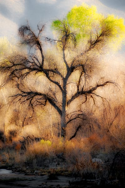 Cottonwood Tree in Winter
