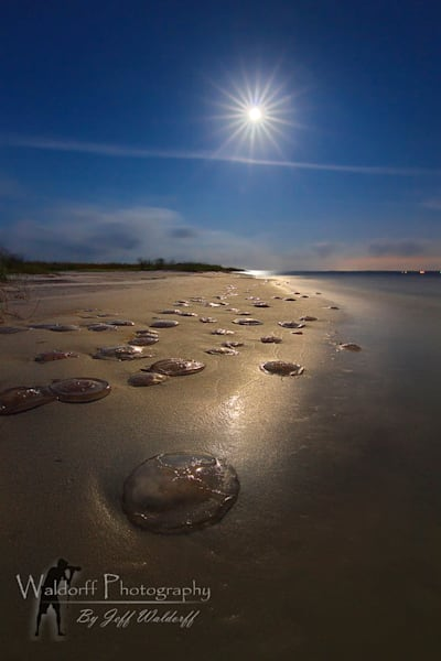 (Full) Moon Jellyfish