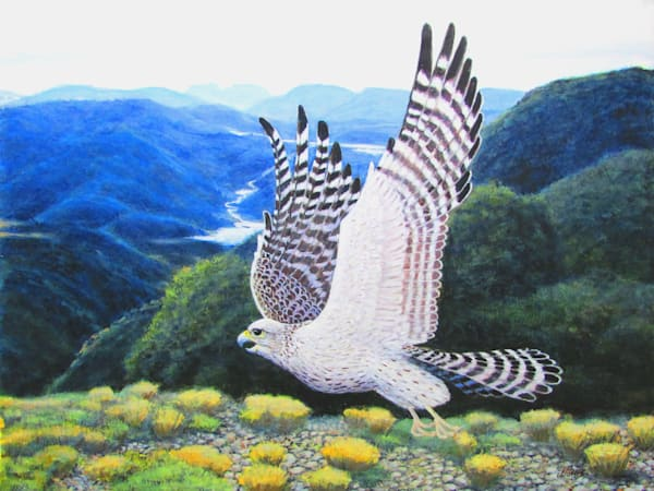 Grey Falcon In Flight Art | Charles Wallis