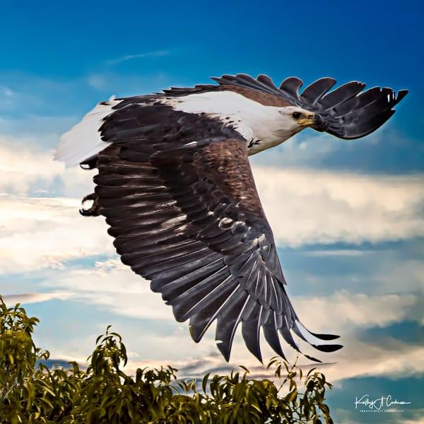 Fish Eagle Soaring