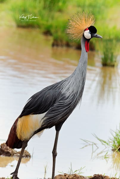 Grey Crested Crane Photography Art | Images2Impact