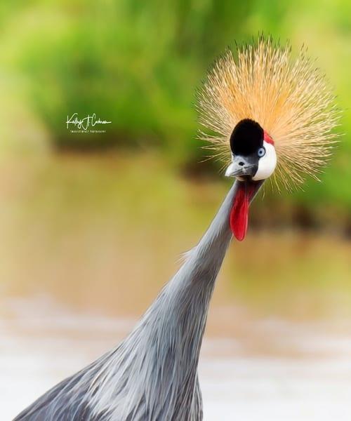 Grey Crested Crane 2