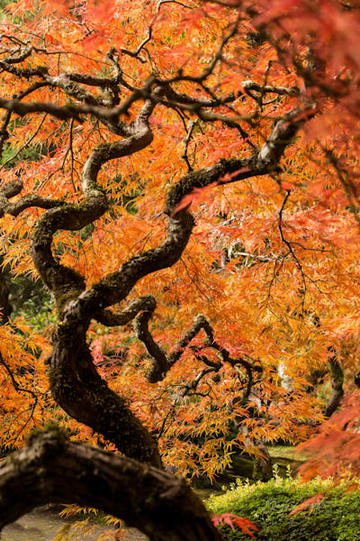 Japanese Maple Tree Photography Art | Barb Gonzalez Photography
