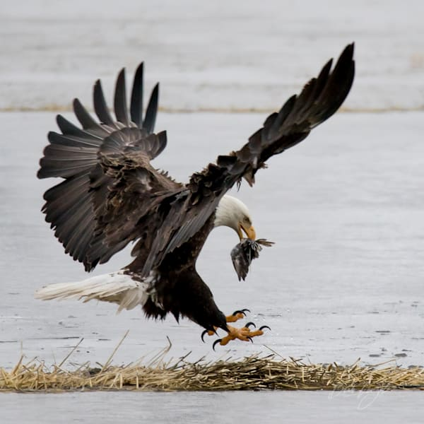 Landing Eagle with Prey