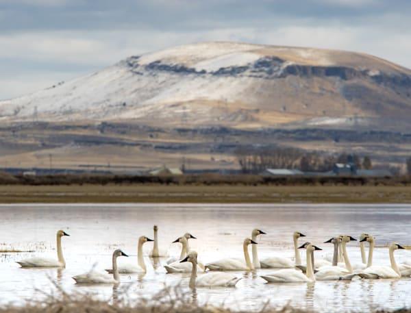 Tundra Swans Tulelake