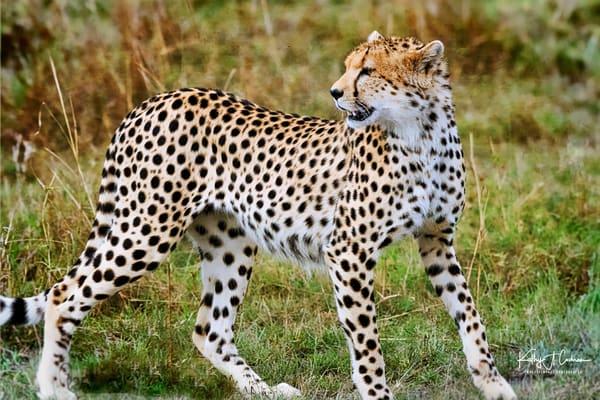 Cheetah Stance